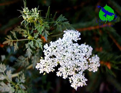 fleurs petite ciguë stages plantes sauvages Franche comté bourgogne