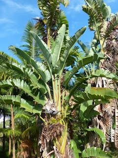 Strelitziaceae observée à la Réunion