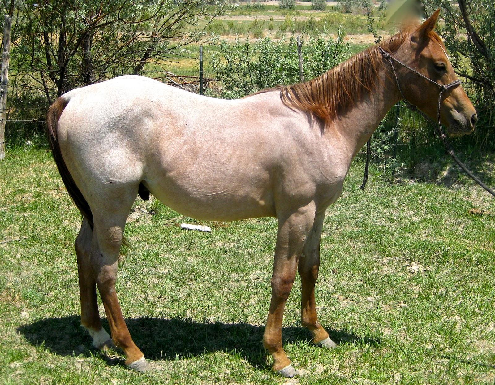 Roan River Ranch Quarter Horses: 2011 colts - photo#4