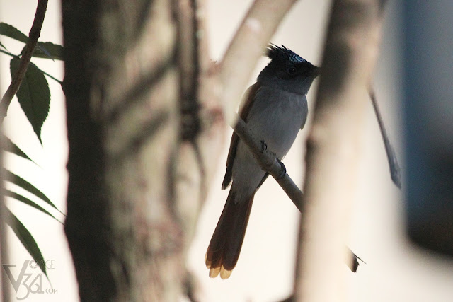 A female Indian paradise flycatcher with a short-tail, rufous wings, grayish throat and a black head with crest