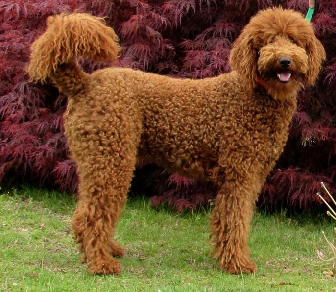 Poodle Australian Dog Lover