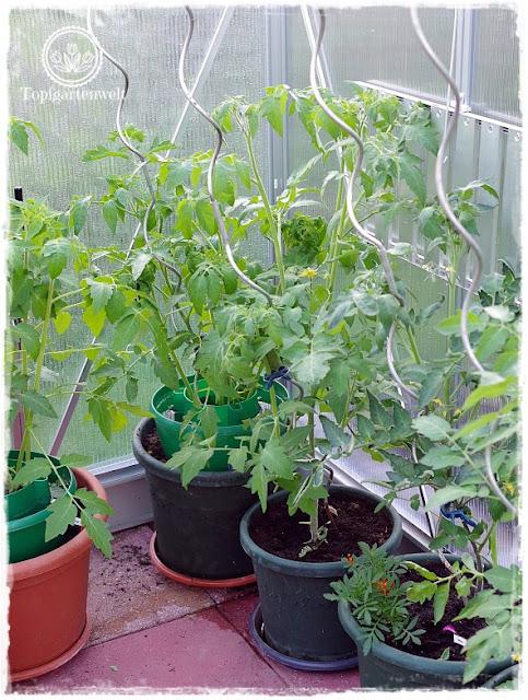 Gartenblog Topfgartenwelt Tomaten Tomatenanbau in großen Töpfen und Trögen: Tomatenpflanzen Gewächshaus