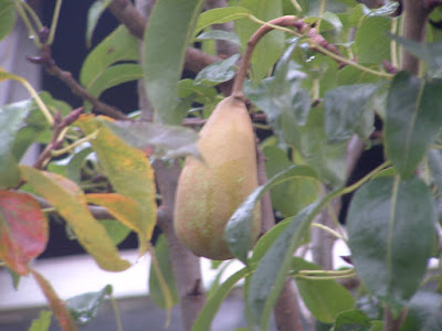Close up of a pear growing amongst leaves