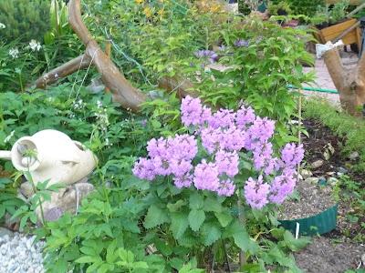 Цветение буквицы садовой