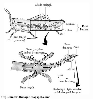 Penterangan Lengkap Sistem Ekskresi pada Hewan Invertebrata Penterangan Lengkap Sistem Ekskresi pada Hewan Invertebrata