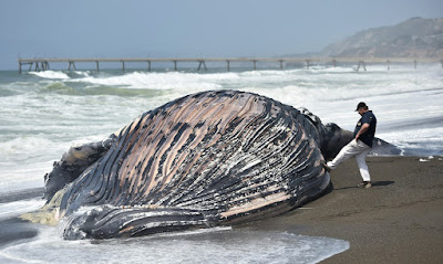 dead whale ashore in California