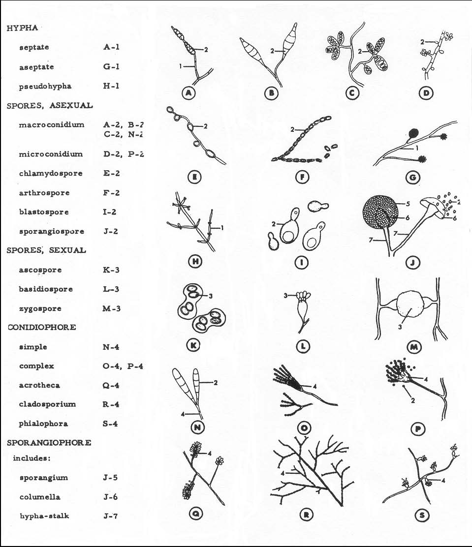 medical mycology lecture notes pdf