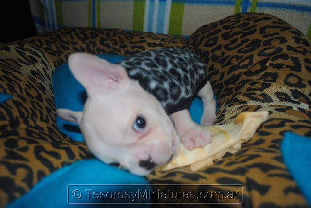 Bulldog Francés Venta