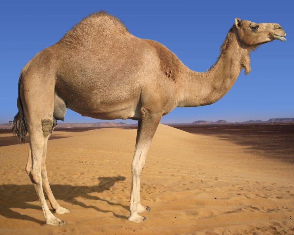 Rüyada deve görmek ve deveye binmek ne demektir Anlamı Hakkında Bilgi