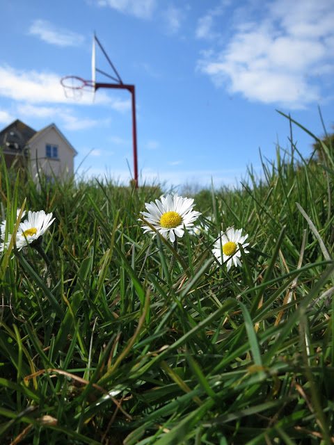 Daisies in grass in front of flats and basket ball hoop.