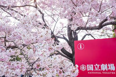 National Theatre Tokyo sakura tree.