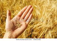 Farmer growing wheat (Credit: shutterstock.com) Click to Enlarge.