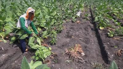 La Nina Hantam Lahan Petani Tembakau Di Jombang, Seribu Hektar Rusak Parah