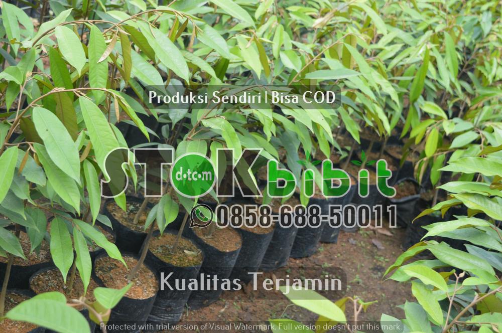 Bibi Durian Musang king 2 meter    Grosir       Lengkap