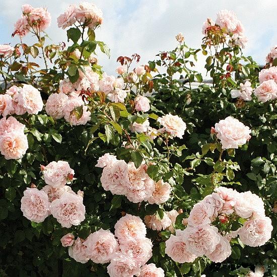 Rose de Tolbiac rose сорт розы фото