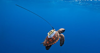 sea turtle young, sea turtle tracker