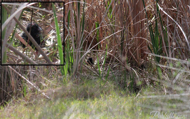 swamphen chick on it's own waiting for the next meal