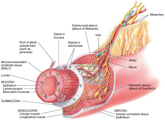 The Glorious Gastrointestinal System Anatomy And Physiology Of The
