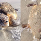 Sea Turtle Rescued Off Cape Canaveral Air Force Station