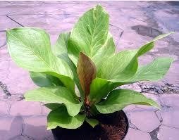 <img scr='nama_file_gambar.jpg'  alt='tanaman hias daun anthurium' />