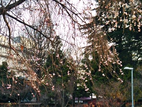 県民ふれあい広場の四季桜