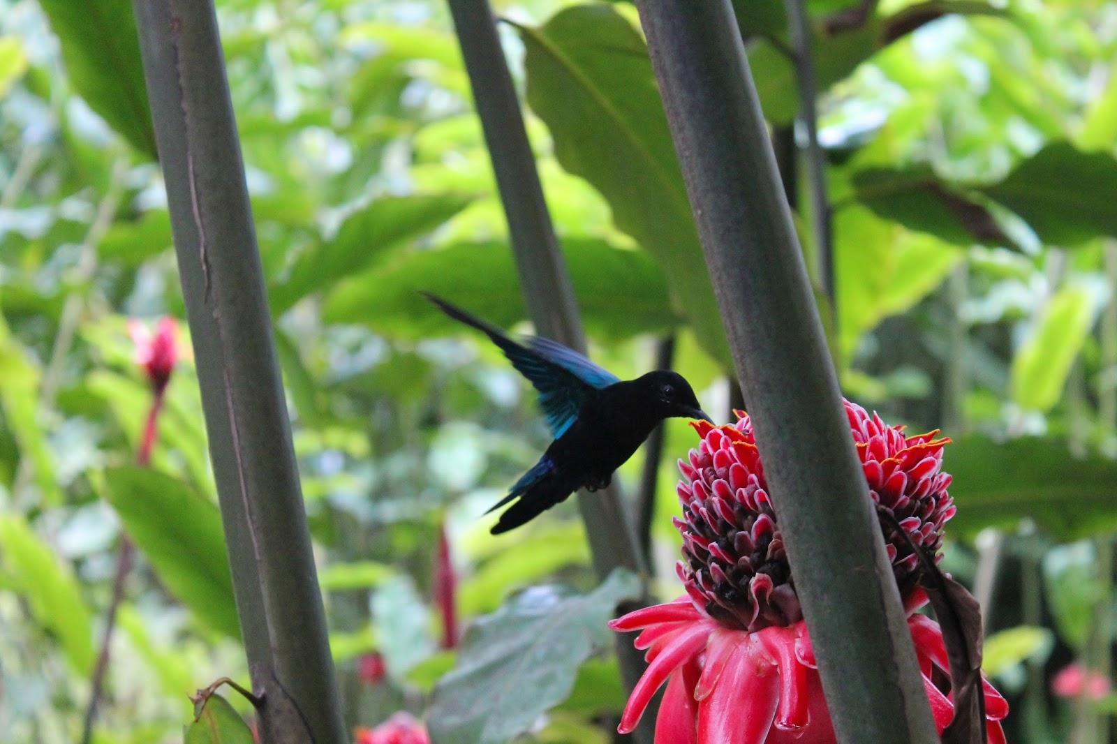jardin de balata martinique fleur colibri