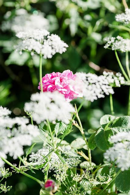 Impressionen aus dem Rosengarten, Pomponetti
