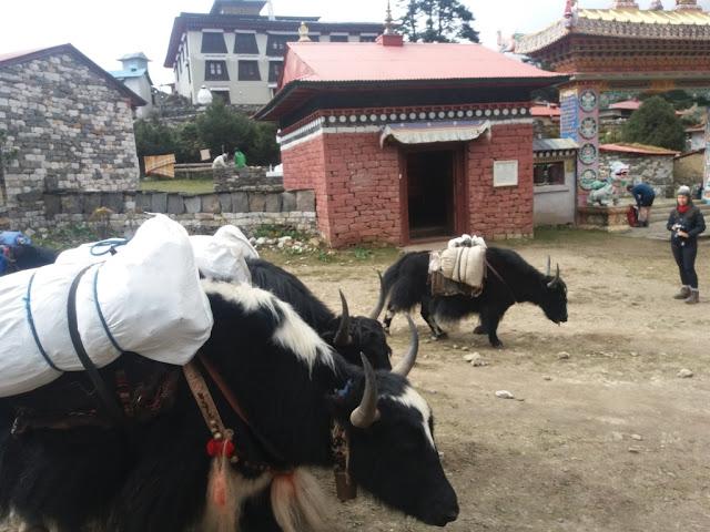 Yaks in Tengboche