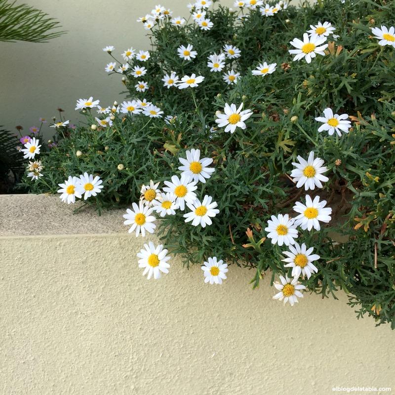 margaritas (Chrisanthemum paludosum)