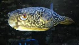 Ikan Buntal jenis Puffer Mbu