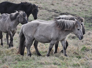 Konik ponies, Burwell Fen