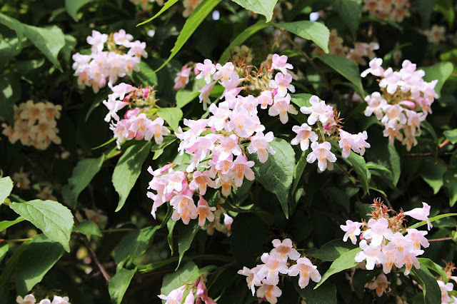 Pink flowering bush in spring - Paris travel & lifestyle blog