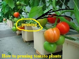 """how to pruning tomatoes plants"",""pruning tips tomatoes plants"",""growing tips organic tomatoes plant in container"""