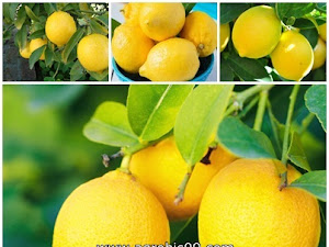 Cara Gampang Menanam Buah Lemon Di Pekarangan Rumah