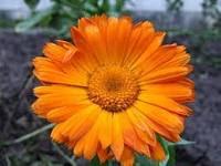 فوائد نبات الآذريون والامراض التي تعالجها