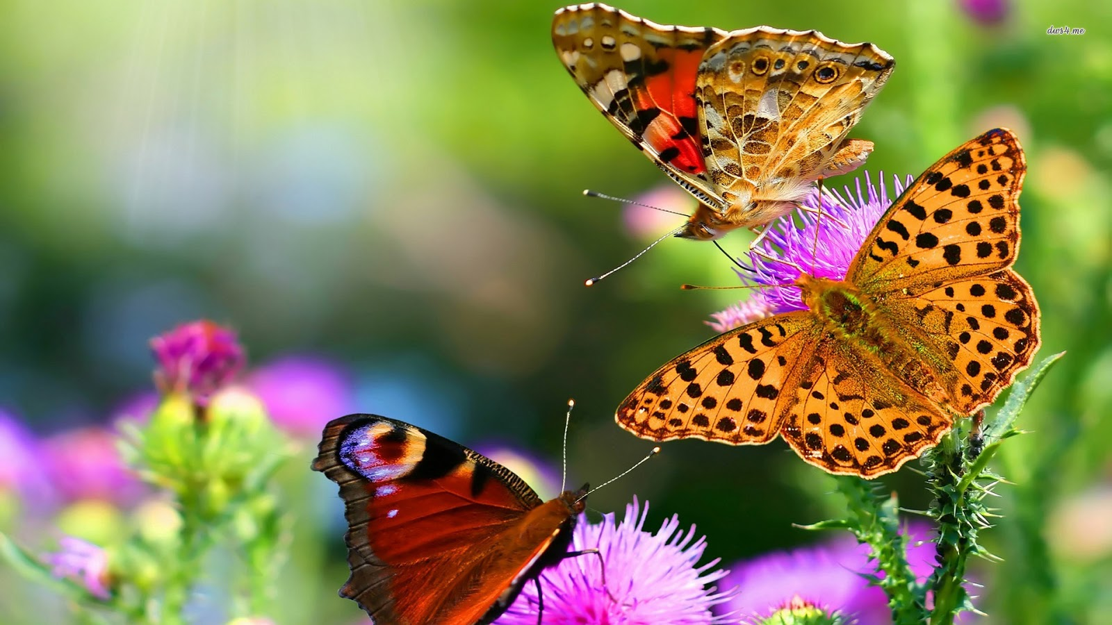 Butterflies Wallpapers Hd Download