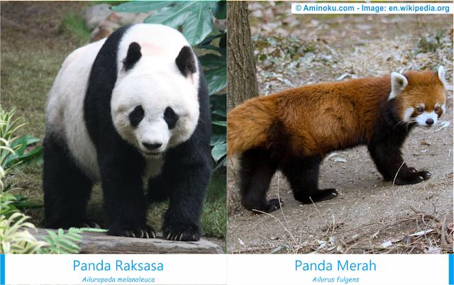 Perbedaan panda raksasa dan panda merah