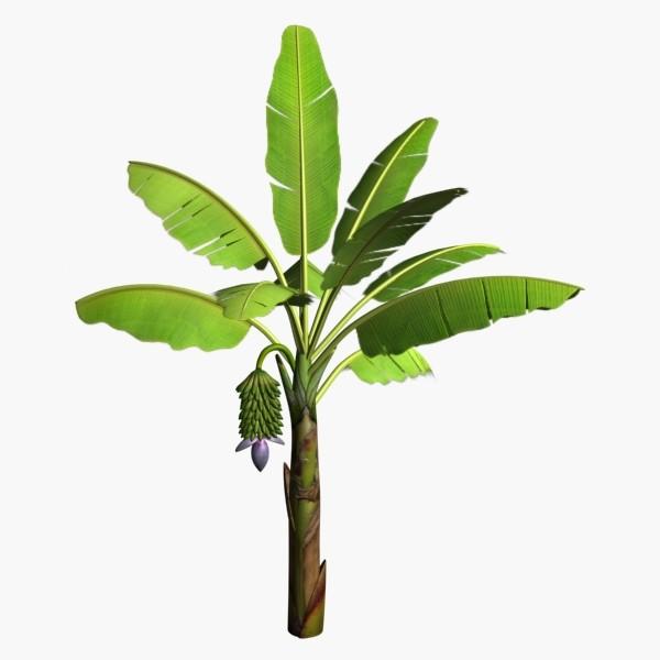 Major Different Between Banana Tree And Plantain Tree Myagricworld