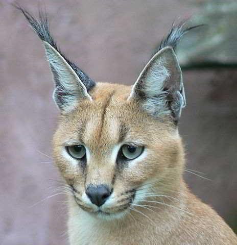 Gambar Kucing Hutan Karakal