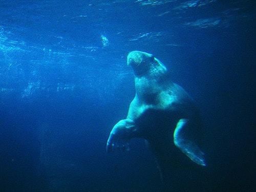 مدة-حمل-فيل-البحر