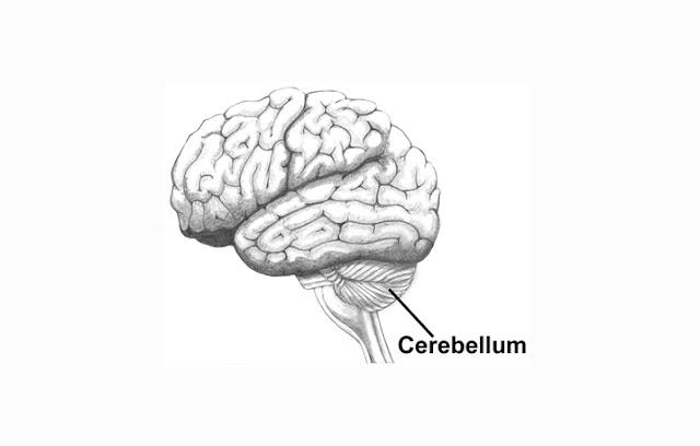 Pengertian, Struktur dan Fungsi Cerebellum