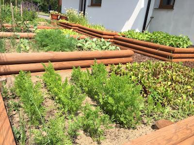 Warzywnik w drewnianych skrzyniach