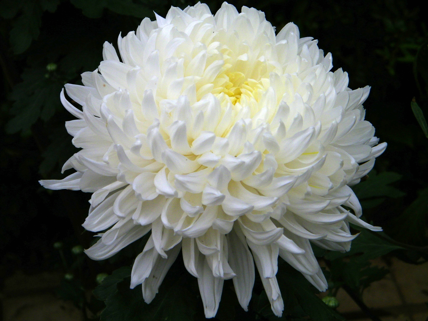 Enjoy the fragrance of flowers june 2012 there are thirteen types of flowers that white chrysanthemum can bear big double flowers round flowers that look like pompoms flowers with many mightylinksfo
