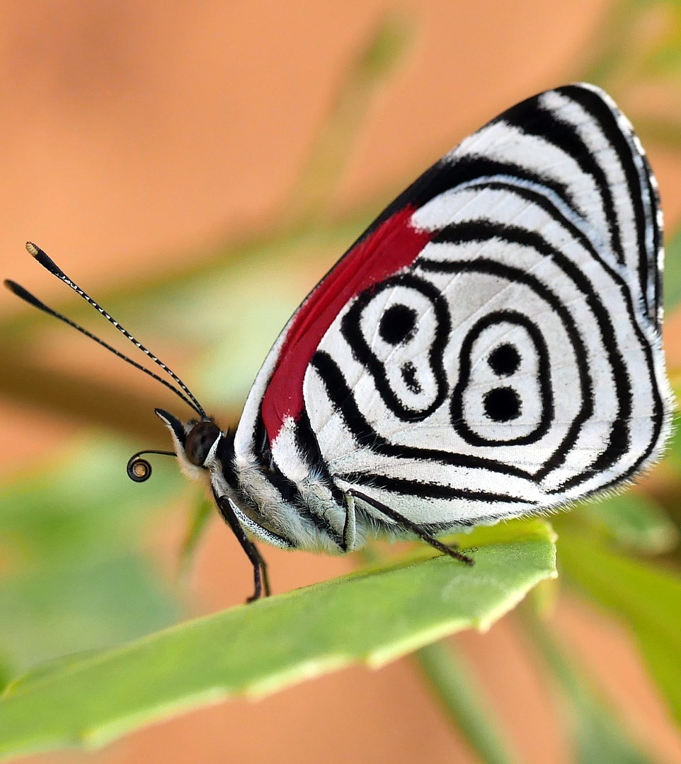 A butterfly with an exotic pattern.