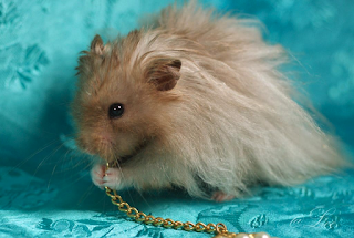 Hamster angora pelo largo