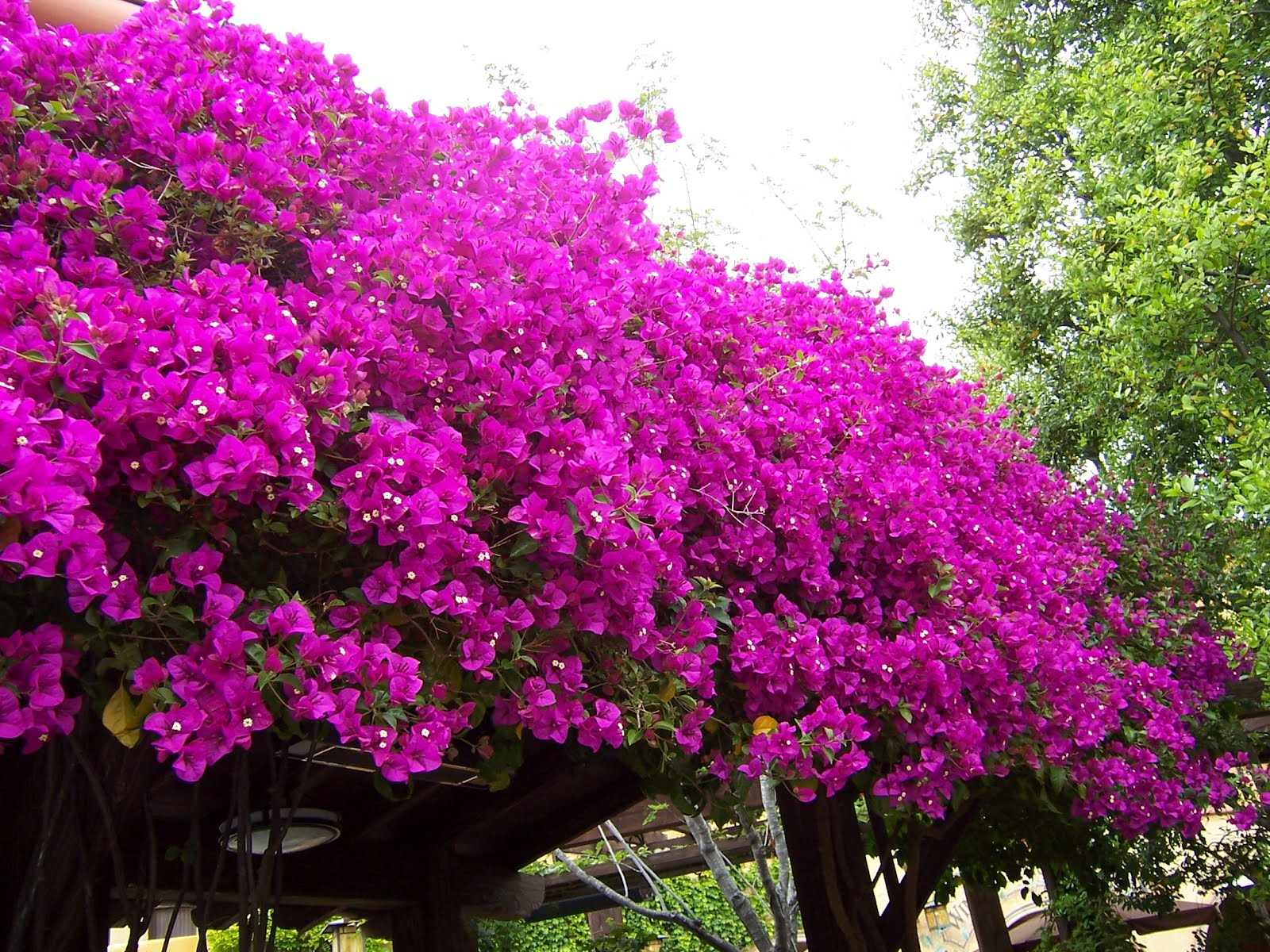 When Kate Blogs: Bougainvillea: A Childhood Memory