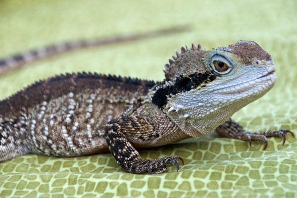 Australian Water Dragon: True Wildlife Creatures
