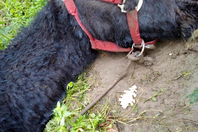 Buongiornolink -  L'atroce fine del pony morto di fame e di freddo