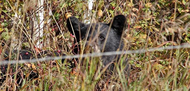 Schwarz Bär