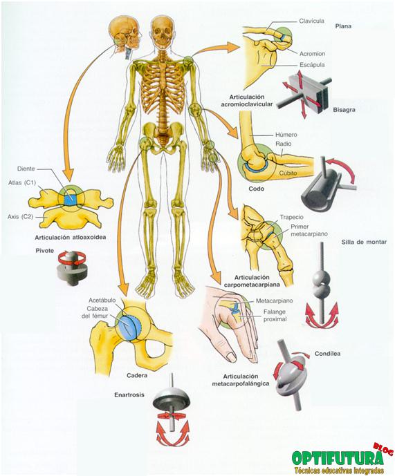 Tipos de articulaciones sinoviales [Anatomía] ~ Optifutura